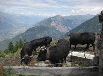 lehmatalkuun
