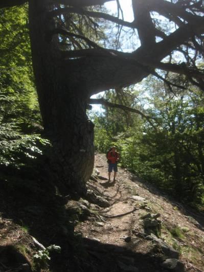 jattipuu