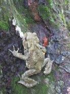 sammakkoharo